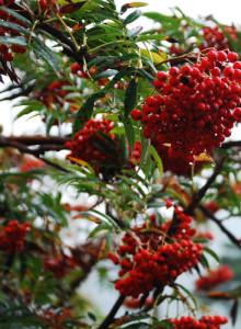 설악산 마가목열매 600g건조 - 마가목환 마가목열매 마가목액상차(설악 강골차)