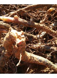 고사리재배용 종근100kg(배송비지원)