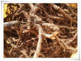 참조은(참좋은)고사리종근 20키로 종자용뿌리 지리산의 우량품종 재배용 모종