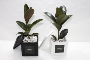 GRATO 모던 고무나무 미니화분 / 공기정화식물