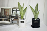 GRATO 산세베리아 문샤인 무광화분 / 공기정화식물