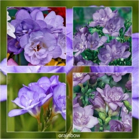 FR002 프리지아 Freesia double purple 더블퍼플 /월동불가 /구근크기: 6/7   /구성 : 총 구근 7개