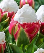 오레인보우S022 아이스크림 튤립구근 3개 정원꾸미기