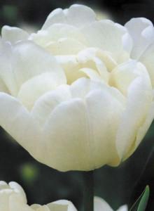 오레인보우T2079 몬다이얼 튤립구근 5개 정원꾸미기 원예
