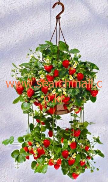 [씨앗]500 개가방 분재 딸기 씨앗 맛있 유기농 과일 씨앗 식용 식품 화분 홈 정원 : 향기내음3 - 네이버쇼핑