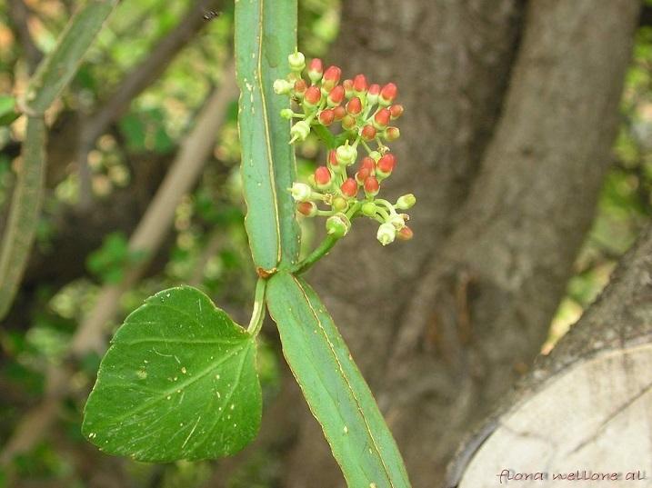 유기농 시서스 인도산 시서스가루 910g 시서스분말 Herbadiet USDA Organic Cissus 씨서스 오가닉 분말가루 : 뉴욕오빠