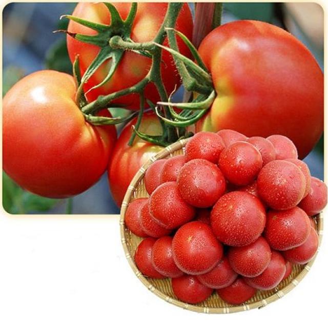 영월 술빛고을 토마토 [10kg]